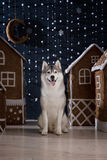 Dog breed siberian husky, portrait dog on a studio color background, Christmas and New Year. Stock Photo