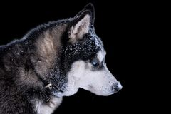 Dog breed Siberian Husky portrait. Isolate on black background stock photography