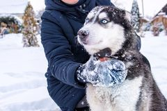 Dog breed Siberian Husky portrait on open snowy terrain royalty free stock image