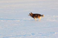 Dog of breed the Siberian Husky running on a snow beach Stock Photos