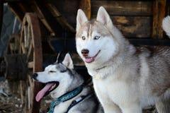 Dog breed Siberian Husky in a rustic barn Royalty Free Stock Image