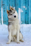 What you said, I listen carefully!. Dog breed Siberian Husky surprised Royalty Free Stock Photos