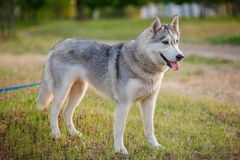 Siberian Husky walking in autumn forest Royalty Free Stock Image