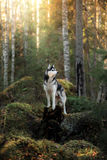 Dog breed Siberian Husky. Walking in autumn forest Royalty Free Stock Image