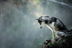 Dog breed Siberian Husky. Walking in autumn forest Stock Photography