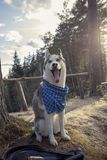 Dog breed Siberian Husky walking in autumn forest royalty free stock photography