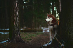 Dog breed Siberian Husky walking in spring forest. At sunrise Stock Image