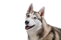 Dog breed Siberian Husky on a white background Royalty Free Stock Images