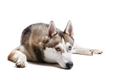 Dog breed Siberian Husky on a white background Royalty Free Stock Photos