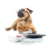 Dog Breed Small Brabant Accountant. On a white background Stock Image