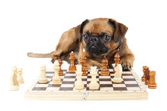 Dog Breed Small Brabant with chess Royalty Free Stock Images