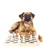 Dog Breed Small Brabant with chess Stock Images