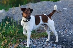 Dog breed smooth-haired fox terrier Stock Images