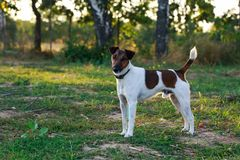 Dog breed smooth-haired fox terrier Royalty Free Stock Photos