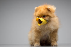 Dog Breed the Spitz dressed duck Royalty Free Stock Images