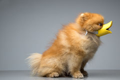 Dog Breed the Spitz dressed duck Royalty Free Stock Photo