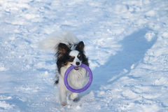 Dog of breed a spitz with a violet ring Royalty Free Stock Images