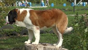 Dog breed St. Bernard stock video