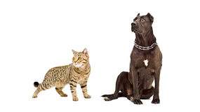 Dog breed Staffordshire Terrier and cat Scottish Straight together Stock Image