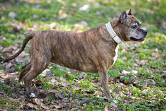 Dog breed staffordshire Terrier Royalty Free Stock Photos