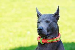 Dog breed Thai Ridgeback Stock Photography