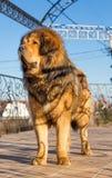 Dog breed Tibetan Mastiff Royalty Free Stock Photo