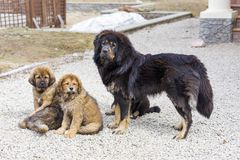 Dog breed Tibetan Mastiff with puppies Stock Image