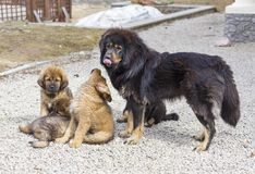 Dog breed Tibetan Mastiff with puppies Stock Photo