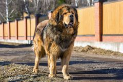 Dog breed Tibetan Mastiff Royalty Free Stock Images