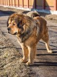 Dog breed Tibetan Mastiff Stock Photos