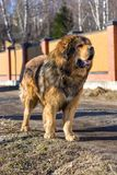 Dog breed Tibetan Mastiff Stock Images