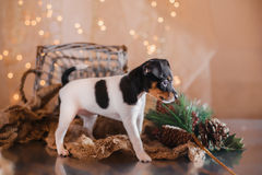 Dog breed Toy fox terrier puppy Royalty Free Stock Image