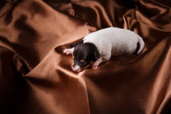 Dog breed Toy fox terrier puppy Royalty Free Stock Photo