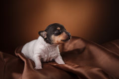 Dog breed Toy fox terrier puppy Royalty Free Stock Photography