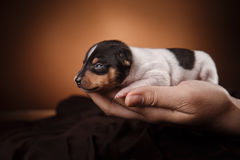 Dog breed Toy fox terrier puppy Stock Images