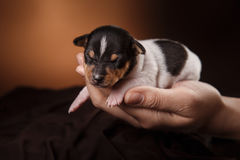 Dog breed Toy fox terrier puppy Royalty Free Stock Images