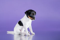 Dog breed Toy fox terrier puppy Stock Image