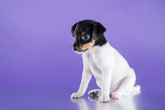 Dog breed Toy fox terrier puppy Stock Photos