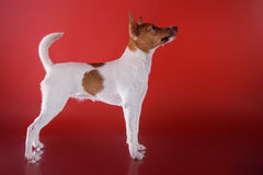 Dog breed Toy fox terrier puppy Stock Photo