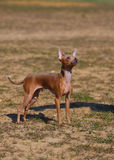 Dog breed toy terrier on nature Royalty Free Stock Photos