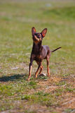 Dog breed toy terrier on nature Stock Image