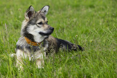 Dog breed Visigoth Spitz. The dog breed Visigoth Spitz is lying on green grass stock photo