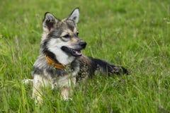 Dog breed Visigoth Spitz royalty free stock photography