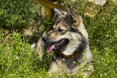 Dog breed Visigoth Spitz stock photography