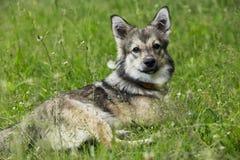 Dog breed Visigoth Spitz stock images