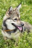 Dog breed Visigoth Spitz stock photo