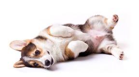 Dog breed Welsh Corgi, Pembroke. Puppy dog breed Welsh Corgi, Pembroke on white Stock Images