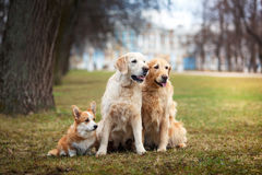 Dog breed Welsh Corgi Pembroke and Golden retriever Royalty Free Stock Photos
