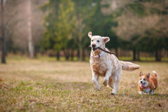 Dog breed Welsh Corgi Pembroke and Golden retriever Stock Images