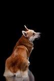 Dog breed Welsh Corgi Pembroke. Portrait on a black background Stock Photo
